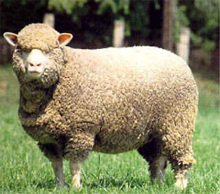 Montadale Sheep Uses Characteristics, Pros and Cons