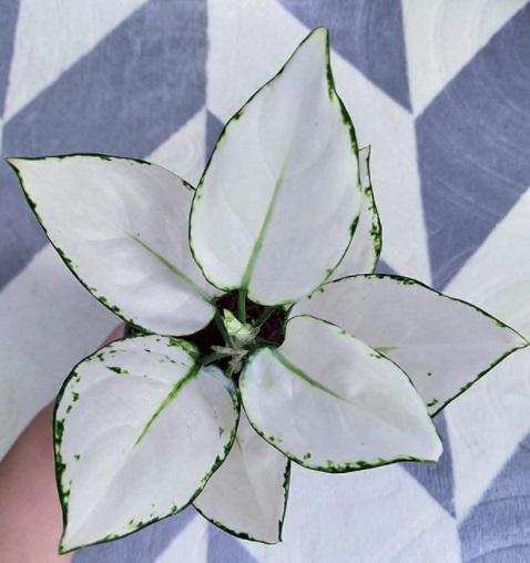 Aglonema Super White