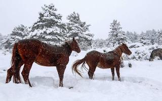 Άγρια άλογα στα χιονισμένα βουνά