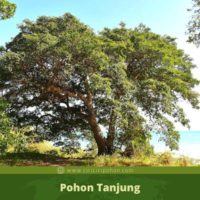 Ciri Ciri Pohon Tanjung