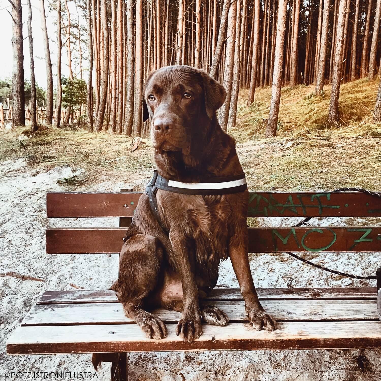 czekoladowy labrador siedzi na ławce w lesie przy plaży