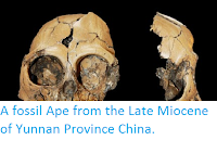 http://sciencythoughts.blogspot.co.uk/2014/01/a-fossil-ape-from-late-miocene-of.html