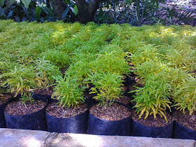 Jual Pohon Brokoli Kuning,Jual Tanaman Hias Brokoli Murah