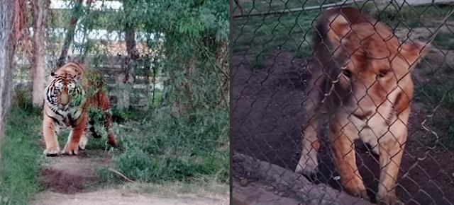 Fotos; En Navojoa, Sonora catean finca de narcos, decomisan 8 caballos y animales exoticos entre ellos 2 leonas y 1 leona