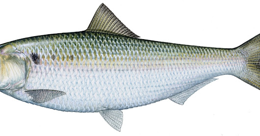 American Shad Return to the Musconetcong River After 300 Year Hiatus!