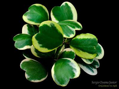 Suculenta  Hoya kerrii