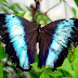Morpho richardius