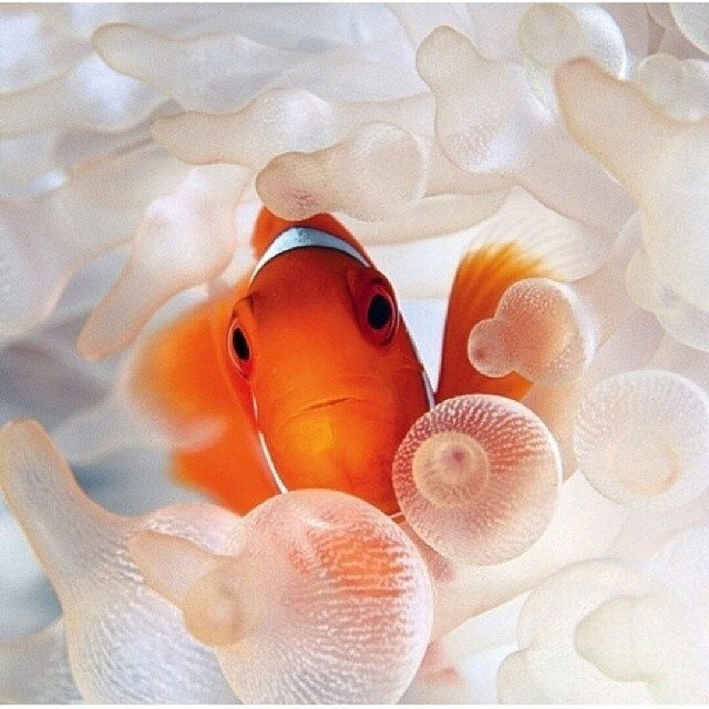 Cara Memelihara Ikan Badut (Nemo Fish)