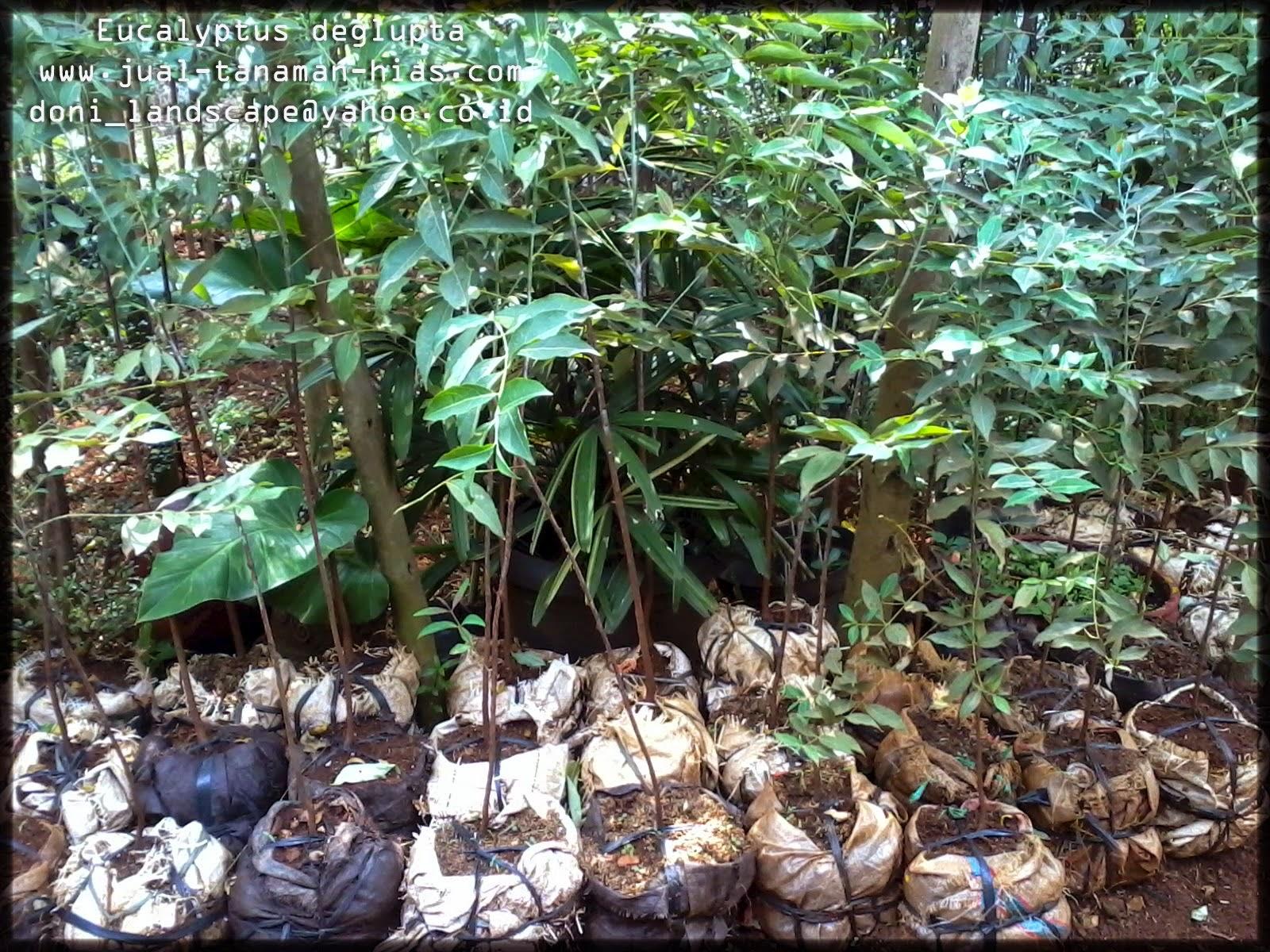 Eucalyptus Deglupta | Ekalibtus Alba atau Kayu Pulih Australia