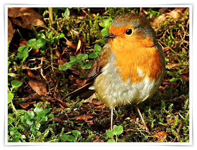 Robin Redbreast in Cornwall
