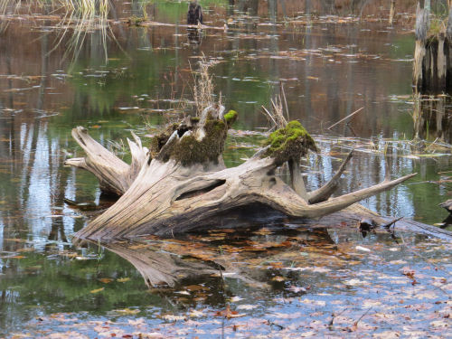 driftwood with moss in the water
