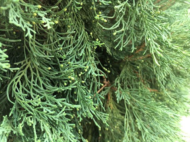 Cupressus sempervirens male cones