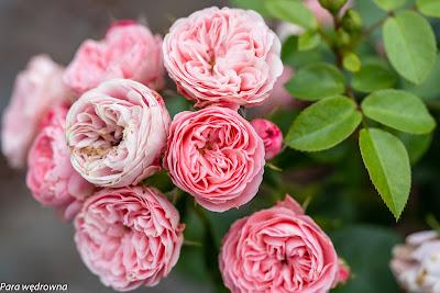Powsin ogród botaniczny PAN róże