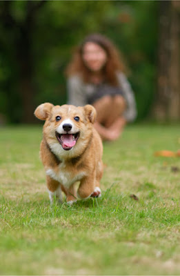 To promote positive dog training, teach, engage, and amplify. Pembroke Welsh Corgi practices recall.