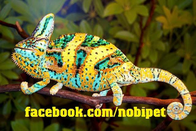 ban-veiled-chameleon-tac-ke-hoa-doi-mau-tai-da-nang-3