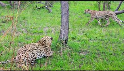 Cheetah disergap macan tutul di alam liar.
