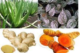 Tanaman obat gatal tradisional pada kulit