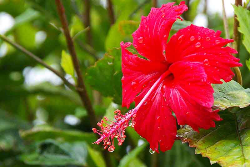 red hibiscus flower in rain