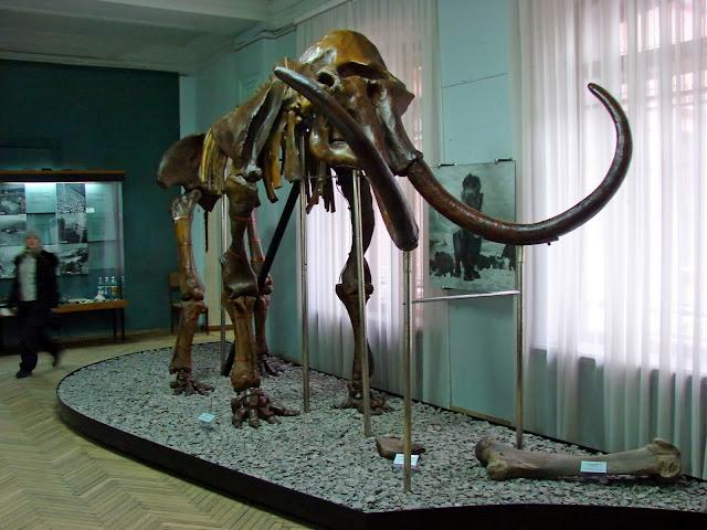 Скелет мамонта в краеведческом музее