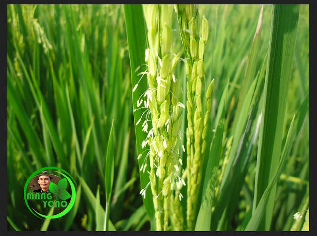 Tanaman padi mulai tumbuh bunga