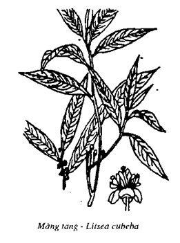 Hình vẽ Màng Tang - Litsea cubeba - Nguyên liệu làm thuốc Chữa Bệnh Tiêu Hóa
