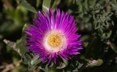 Wild flower Canon EOS 6D  / Woodbridge Island Cape Town