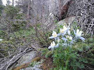 Purple and white Columbines in the forest.