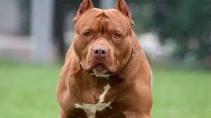 NEYBA: Perro Pitbull provoca la muerte a su amo mientras lo alimentaba.