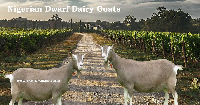 nigerian dwarf dairy goats, nigerian dwarf goat, baby nigerian dwarf goats, nigerian dwarf goats milk @tamilfarming