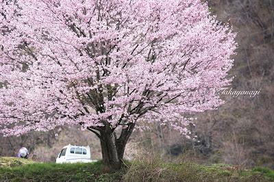 日本の風景 長野県白馬村の桜