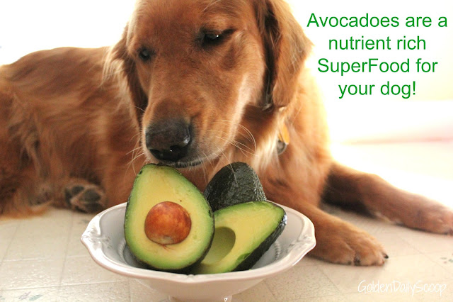 Avocado as a superfood for dogs with #AvoDermNatural Revolving Menu dog Food Trial #ad