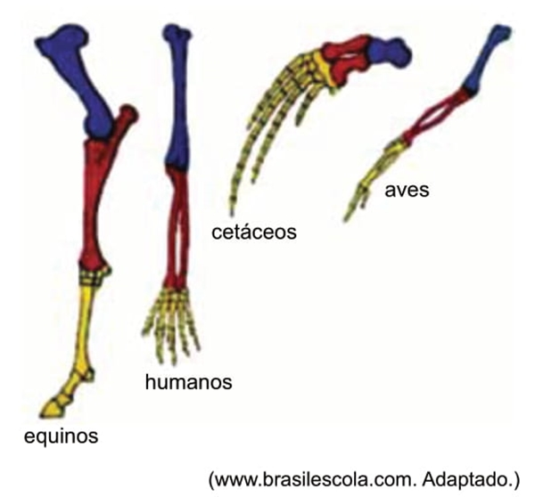 A figura ilustra os ossos constituintes dos membros anteriores de quatro grupos de vertebrados