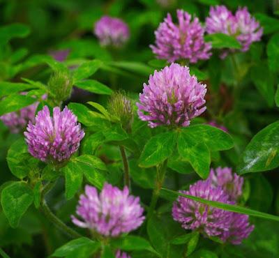 astragalus, manfaat astragalus, tanaman astragalus, kandungan gizi astragalus, herbal, Manfaat Tanaman Herbal, Manfaat Kesehatan,