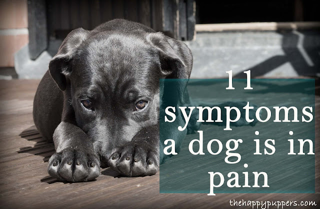 18 signs, a dog is in pain