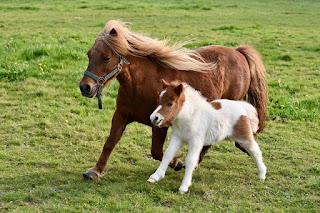 Mengenal Kuda Poni, Jenis Kuda Terkecil di dunia