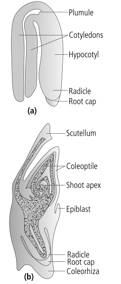 L.S. of an embryo of grass