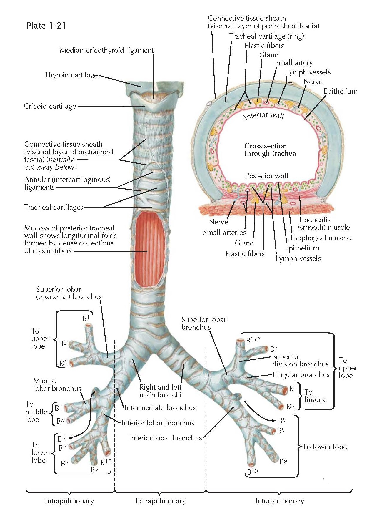 STRUCTURE OF THE TRACHEA AND MAJOR BRONCHI