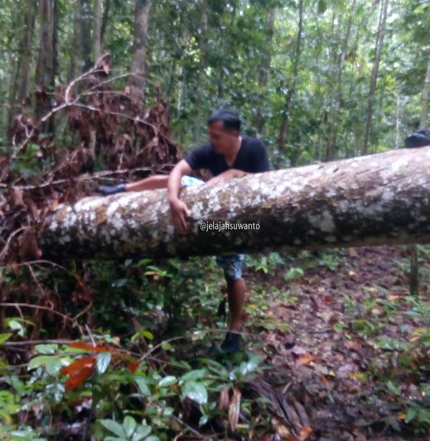 Pohon roboh di hutan Monkairi di sekitar Batu Lima Homestay Raja Ampat ⒸJelajahsuwanto