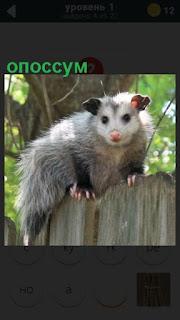 небольшой зверек опоссум сидит на заборе