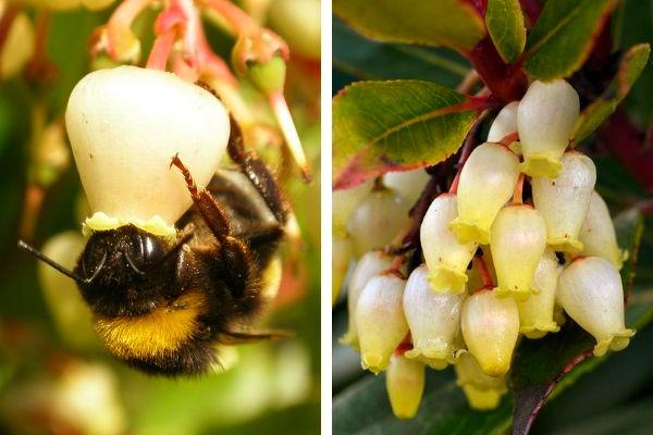 El madroño, Arbutus unedo, florece de octubre a febrero y fructifica de Octubre a Enero