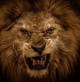 Agresywna lwia buzia