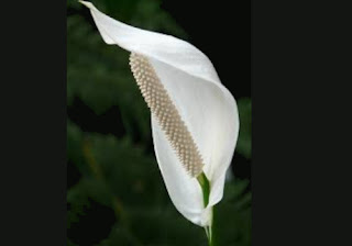 peace lily for bedrooms