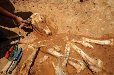 Καμηλοπαρδάλεις, ρινόκεροι και ύαινες στην ανασκαφή του Πικερμίου