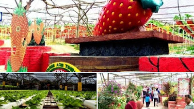Big red strawberry farm cameron highland