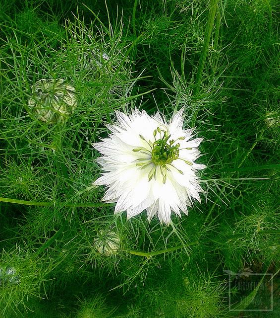 Czarnuszka siewna, damsceńska oraz wschodnia - kwitnienie, jak wyglądają kwiaty, jak kwitnie czarnuszka, kwitną czarnuszki. Różne gatunki, ozdobne rosliny użytkowe i przyprawowe. Uprawa czarnuszki, rośliny dla początkujących, na działkę, grządki do gruntu, przyprawy orientalne, ciekawe rośliny uprawne z nasion, siew.