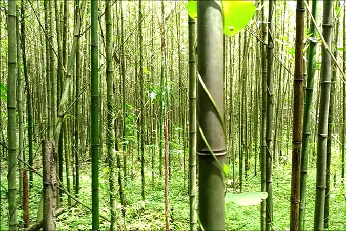 Dlium Bamboo forest of Mount Merapi