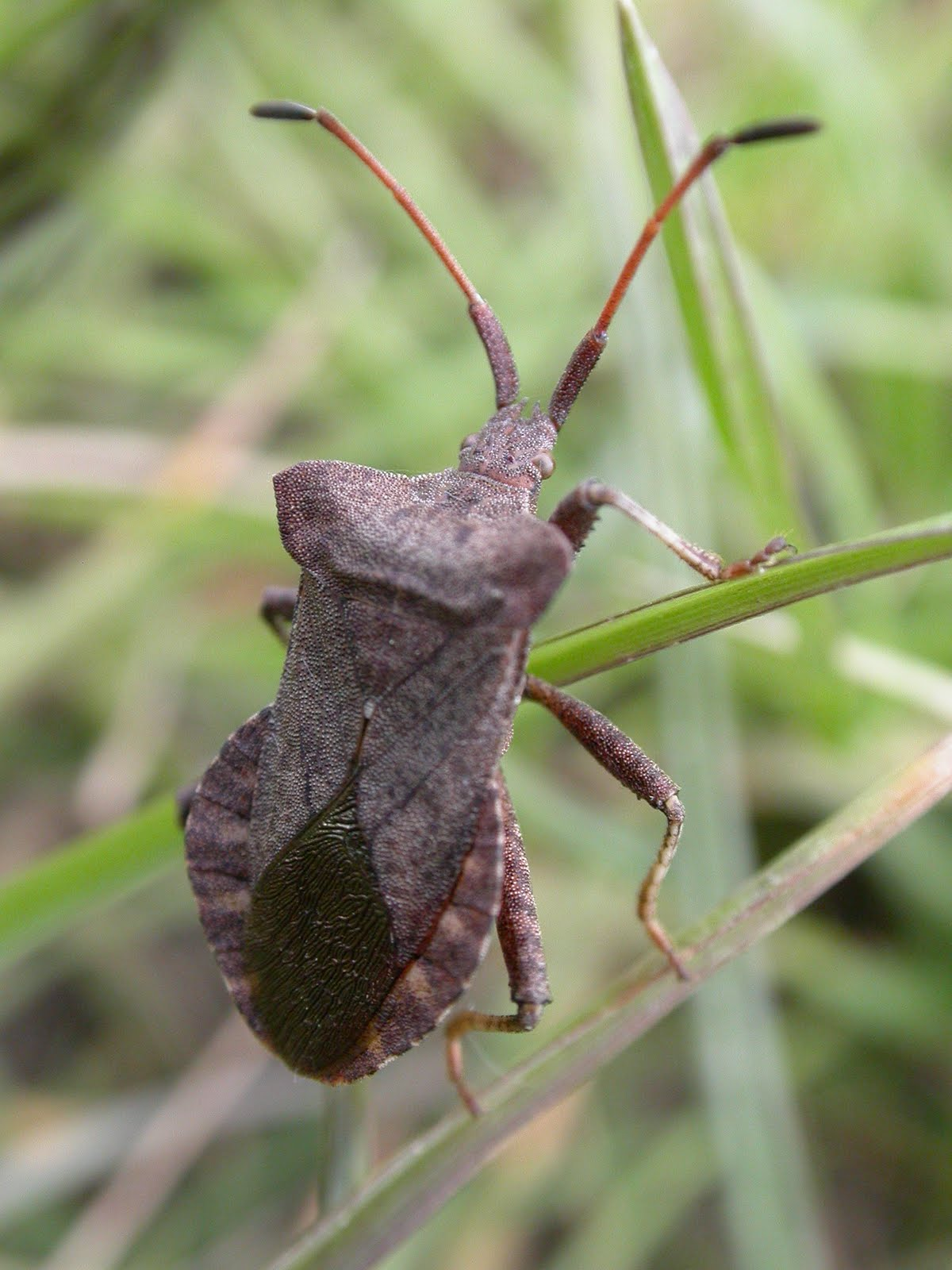 The Lyons Share: First record of rare shield bug for East ...