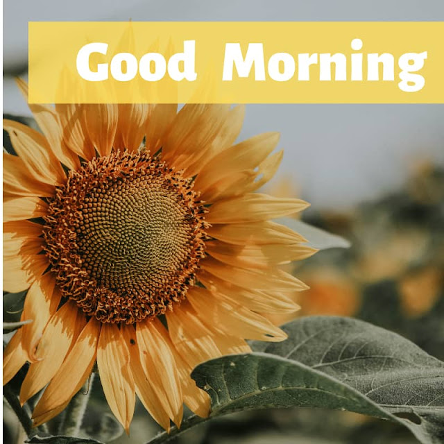 Good Morning Images with Flowers Sunflower