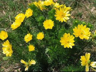 Горицвет - цветок имени Людмила