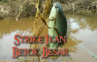 strike ikan betol tanpa henti